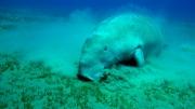 Xuất hiện Dugong tại khu vực biển vịnh Bến Đầm - Côn Đảo (BR-VT)