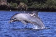 Xuất hiện đàn cá heo tại khu vực biển Ông Đụng - Vườn quốc gia Côn Đảo