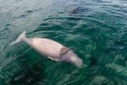 Phát hiện một cá thể Bò biển (Dugong Dugon) chết không rõ nguyên nhân tại vùng biển Côn Đảo