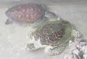 Cứu hộ rùa biển tại Côn Đảo