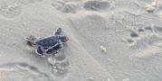 Biến đổi khí hậu đang chuyển hóa 99% rùa con thành rùa cái