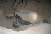 Ra Côn Đảo xem rùa đẻ