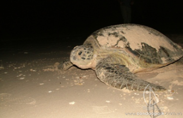 TOUR WATCHING SEA TURTLES LAYING EGGS IN BAY CANH ISLAND