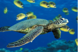 bảo vệ rùa biển