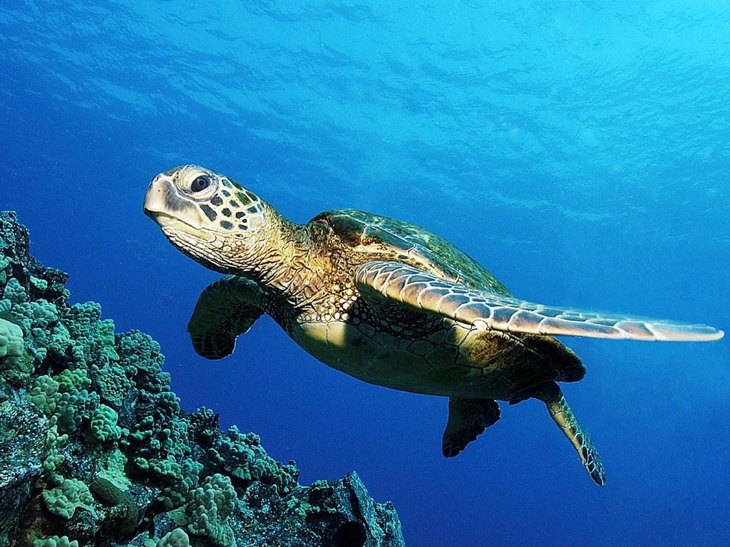 Rùa biển - Xứ giả đại dương
