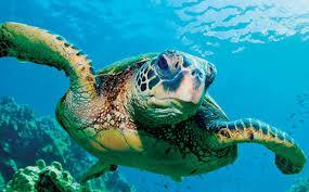 Rùa biển - sứ giả đại dương